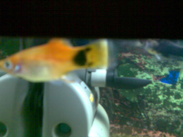 Platy Mickey Mouse
